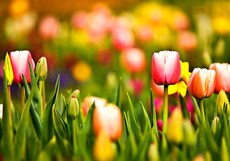 7 datos curiosos sobre los Tulipanes